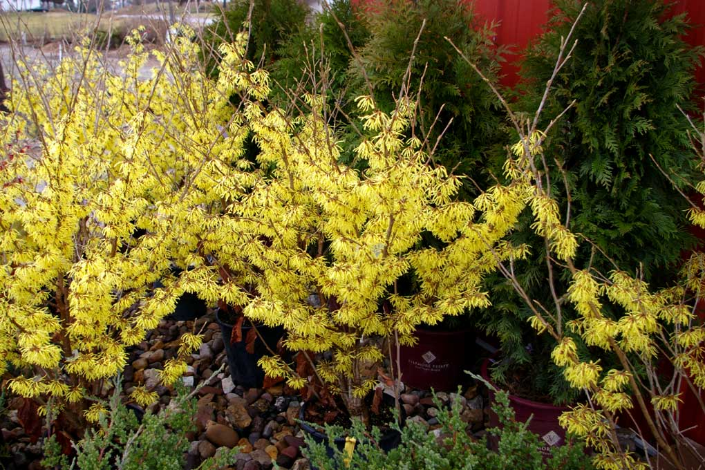 photo of witchhazel